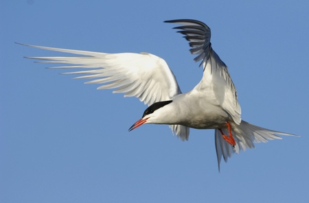 Common tern (Sterna Hirundo)  in flight.  Stok Fotoğraf