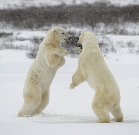 hinder: Polar bears fighting on snow have got up on hinder legs.  Stock Photo