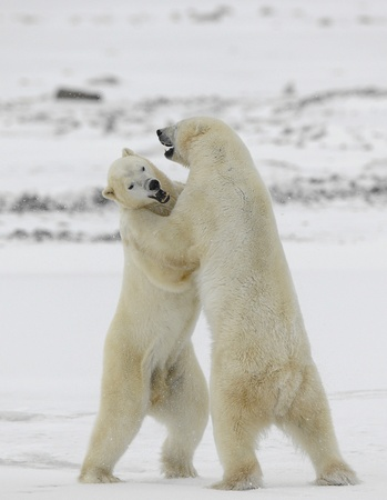bear paw: Polar bears fighting on snow have got up on hinder legs.  Stock Photo