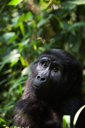 Portrait of a mountain gorilla at a short distance. Stock Photo - 11307411