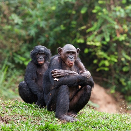 chimp: Pair portrait Bonobo on a grass