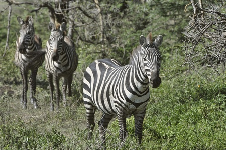 Wild zebras in Africa. Serengeti savanna. Stock Photo - 11555632