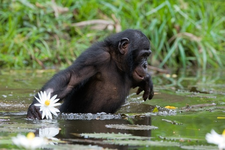 bonobo: The chimpanzee collects flowers. The chimpanzee costs in water and tries to keep step with a lily flower