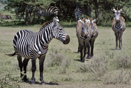 burchell: Wild zebras in Africa. Serengeti savanna.