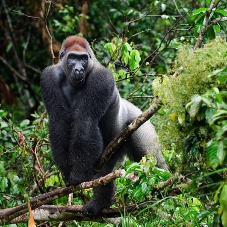 Silverback - adult male of a gorilla. Western Lowland Gorilla. Stock Photo