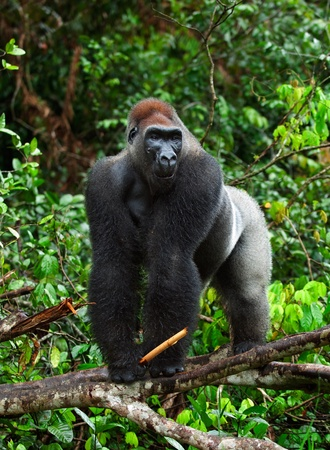 gorilla: Silverback - adult male of a gorilla. Western Lowland Gorilla. Stock Photo