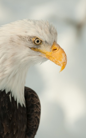 Profile  portrait of an North american bald eagle - Haliaeetus leucocephalus photo
