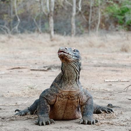 jaszczurka: Komodo smok, Varanus komodoensis, jest największym jaszczurka żyjący w świecie, Indonezja.