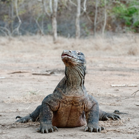 coldblooded: The Komodo dragon, Varanus komodoensis, is the biggest living lizard in the world, Indonesia.