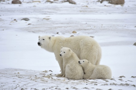 tundra: Polar she-bear with cubs. The polar she-bear  with two kids on snow-covered coast. Stock Photo