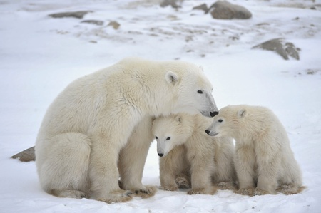 oso blanco: Polar osa con cachorros. La osa polar con dos niños en la costa cubierta de nieve.
