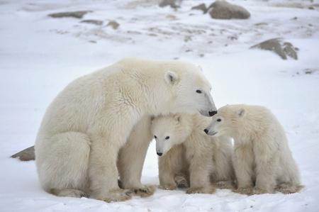 Polar ourse avec ses petits. L'ourse polaire avec deux enfants sur la c�te couverte de neige. Banque d'images
