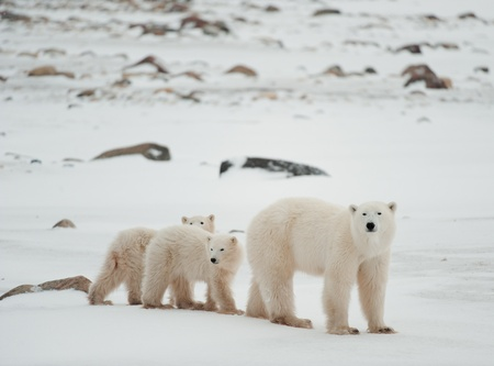 churchill: Polar she-bear with cubs. The polar she-bear  with two kids on snow-covered coast. Stock Photo
