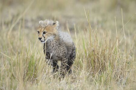 The cub cheetah (Acinonyx jubatus) costs against a yellow grass photo