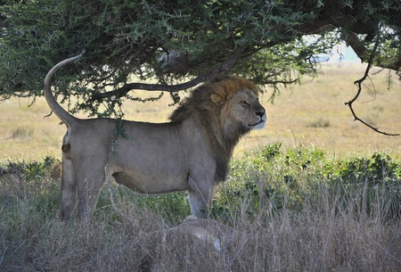 The lion and lioness have a rest in an acacia shade. photo