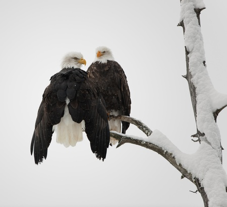 Two eagles ( Haliaeetus leucocephalus )  sit on the dried up tree Stock Photo