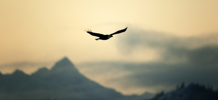 Flying Bald  eagle ( Haliaeetus leucocephalus) on a decline against mountains.