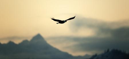 Voler Pygargue � t�te blanche (Haliaeetus leucocephalus) sur une baisse contre les montagnes.