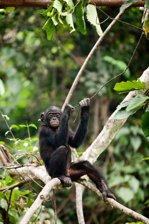 bonobo:  The cub Bonobo sits on a tree branch. Congo. Africa