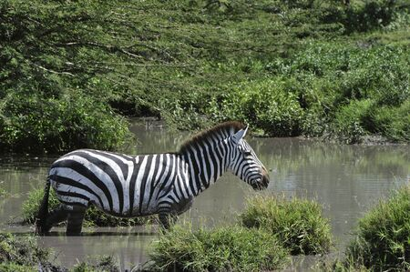 pozo de agua: Contra un fondo oscuro de la cebra se mueve en el agua salpica de elevación.