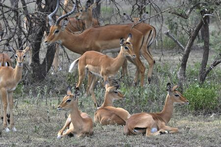 herd deer: The group of antelopes the impala costs on the grass which has turned yellow from the hot sun.