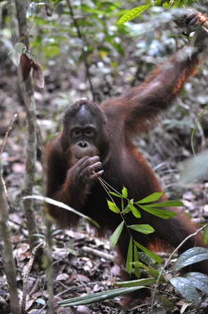 Portrait of the young orangutan. The young orangutan in island Borneo jungle. Indonesia  photo