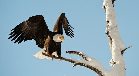Landing of an eagle. An eagle flying on landing. Snow. Winter. Alaska. A bald eagle (Haliaeetus leucocephalus) Chilkat Bald Eagle Preserve in Southeast Alaska.
