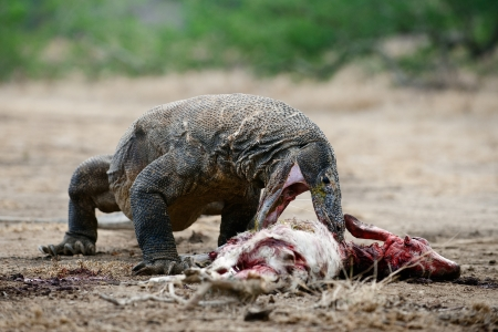 The Komodo dragon eats a victim. Rinca Island. Indonesia