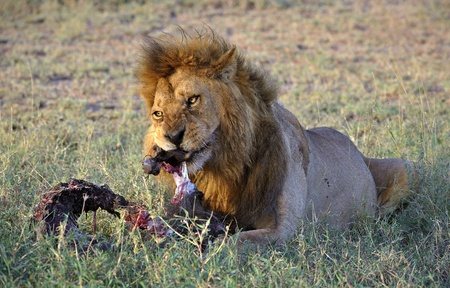 Lion behind a meal. It is left discontentedly growls on distracted him from a tasty dinner. photo
