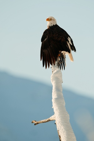 BALD EAGLE ( Haliaeetus leucocephalus )   perched on tree. Chilkat River Alaska USA America . Stock Photo - 11555705