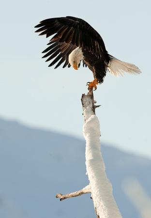 Bald Eagle (Haliaeetus leucocephalus) am Baum thront. Chilkat River Alaska USA Amerika. Standard-Bild