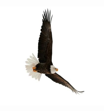 hawks: Bald Eagle (leucocephalus Haliaeetus) isolato su bianco. Contro uno sfondo bianco