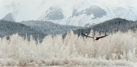 aguilas: Flying �guila calva. Un �guila calva volando contra la cubierta de nieve Mountains Chilkat Valle bajo una cubierta de nieve, con las monta�as detr�s. Chilkat r�o. Alaska, EE.UU.. Haliaeetus leucocephalus Foto de archivo