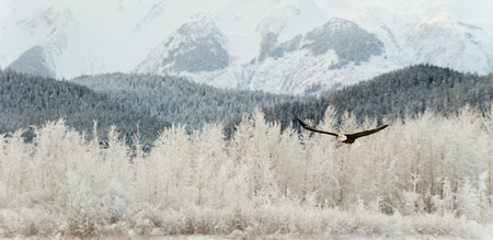 Voler Pygargue � t�te blanche. Une. Volante Pygargue � t�te blanche contre la neige-couvertes vall�e monts d'Chilkat sous une couverture de neige, avec les montagnes derri�re Chilkat River. Alaska, Etats-Unis. Haliaeetus leucocephalus