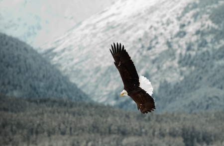 aguila volando: �guila calva volando. Una. �guila calva volando contra nevadas del Valle mountains.The Chilkat bajo una cubierta de nieve, con las monta�as detr�s de Chilkat r�o. Alaska EE.UU.. Haliaeetus leucocephalus