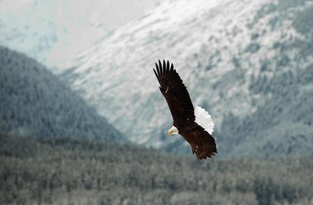 aguila calva: Águila calva volando. Una. Águila calva volando contra nevadas del Valle mountains.The Chilkat bajo una cubierta de nieve, con las montañas detrás de Chilkat río. Alaska EE.UU.. Haliaeetus leucocephalus