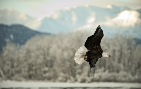 Flying Bald eagle. A flying Bald eagle against snow-covered mountains.The Chilkat Valley under a covering of snow, with mountains behind. Chilkat River .Alaska USA. Haliaeetus leucocephalus photo