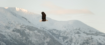 Flying Bald eagle. A flying Bald eagle against snow-covered mountains.The Chilkat Valley under a covering of snow, with mountains behind. Chilkat River .Alaska USA. Haliaeetus leucocephalus Stock Photo - 11555681