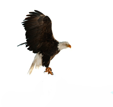 halcones: �guila calva (Haliaeetus leucocephalus) aislado en el blanco. Sobre un fondo blanco