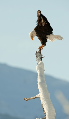BALD EAGLE ( Haliaeetus leucocephalus )   perched on tree. Chilkat River Alaska USA America . Stock Photo - 11555714