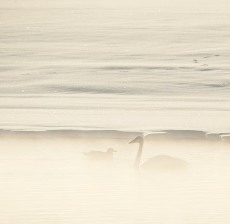USA, Alaska, Chilkat Bald Eagle Preserve, Trumpeter swans  (Cygnus buccinator)  photo