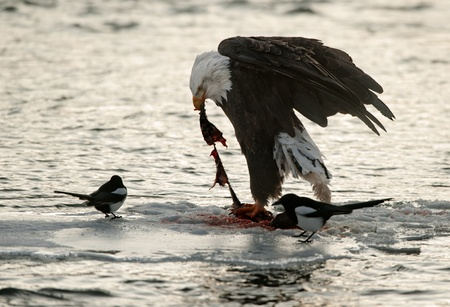 Bald Eaglee on an ice floe eats a salmon. Nearby magpie