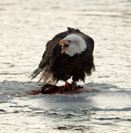 The eagle to be fed with a salmon on an ice floe.  photo