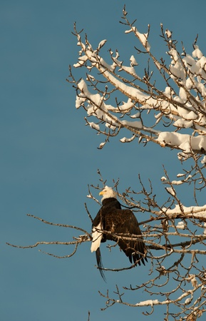 Portrait of an Bald eagle  sitting on a branch. Haliaeetus leucocephalus washingtoniensis. Stock Photo - 11874948