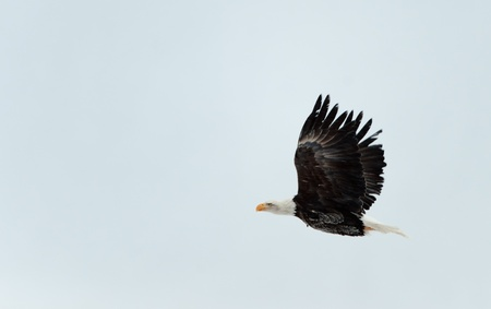 Flying Bald Eagle on sky background.  Alaska Chilkat Bald Eagle Preserve, Alaska, USA photo