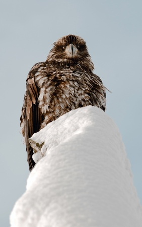 Portrait of an eagle sitting on a snow covered dead tree.Haliaeetus leucocephalus washingtoniensis. photo
