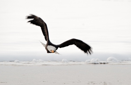 Flying Bald Eagle. Snow covered mountains. Alaska Chilkat Bald Eagle Preserve, Alaska, USA Stock Photo - 11874657