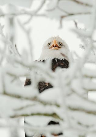 Portrait of an eagle sitting on a snow branch. Haliaeetus leucocephalus washingtoniensis. photo