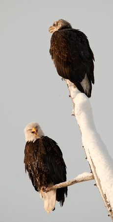 Bald eagles of  sitting on a dead tree.Haliaeetus leucocephalus washingtoniensis. photo