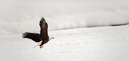 Flying Bald Eagle. Snow covered river. Alaska Chilkat Bald Eagle Preserve, Alaska, USA photo